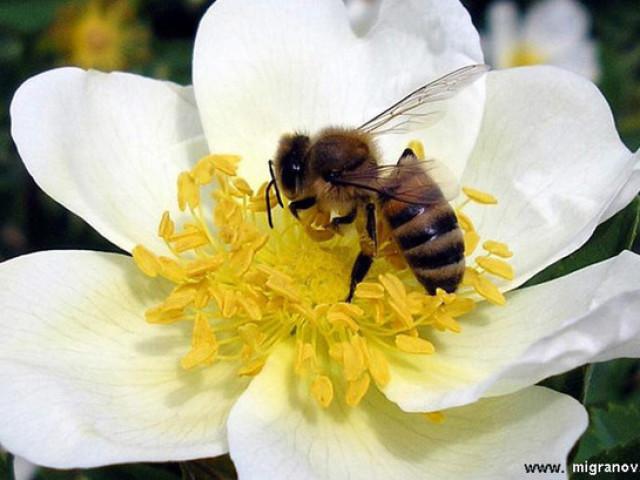 Чому бджола вмирає після укусу, після того, як вжалить, а оса немає: укус оси і бджоли відмінність. Чому бджоли і оси жалять людей? Перша допомога при укусі бджоли або оси: народні засоби від набряків