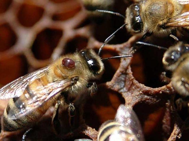 Основні хвороби і шкідники бджіл: ознаки, сучасні методи лікування, профілактика: опис, відео. Настоянка підмору бджіл, Метронідазол, Біпін — від яких хвороб у бджіл? Хвороби бджіл, викликані найпростішими: назви, лікування. Які хвороби п
