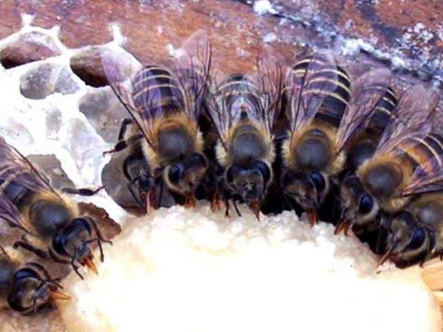 Розведення бджіл для початківців з нуля — годування бджіл цукровим сиропом, згущеним молоком, канді взимку, термообробка, обробка бджіл бипином, чистотілом, від кліща, нозематозу та хвороб: опис, секрети, рекомендації. Скільки корму необхідно п
