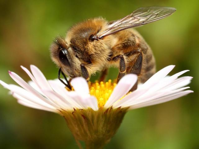 Бджола — це тварина чи комаха? Медоносна бджола: свійська або дика тварина, комаха?
