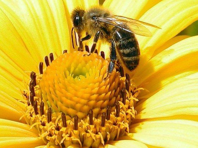 Як і навіщо бджоли роблять мед: коротка інформація для дітей. Як і навіщо бджоли приносять мед у вулик? Бджолина сім'я: склад