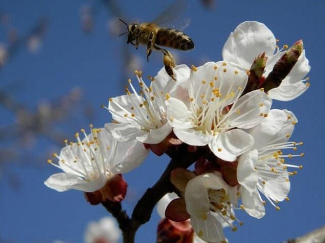 Яка роль бджіл у запиленні рослин: як пояснити? Які квітки не можуть запилюватися бджолами?