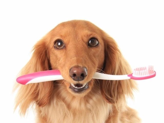 Як і чим почистити зуби собаки в домашніх умовах: поради, рекомендації. Як доглядати за зубами собаки, як часто потрібно чистити зуби собаки? Як привчити дорослу собаку чистити зуби?