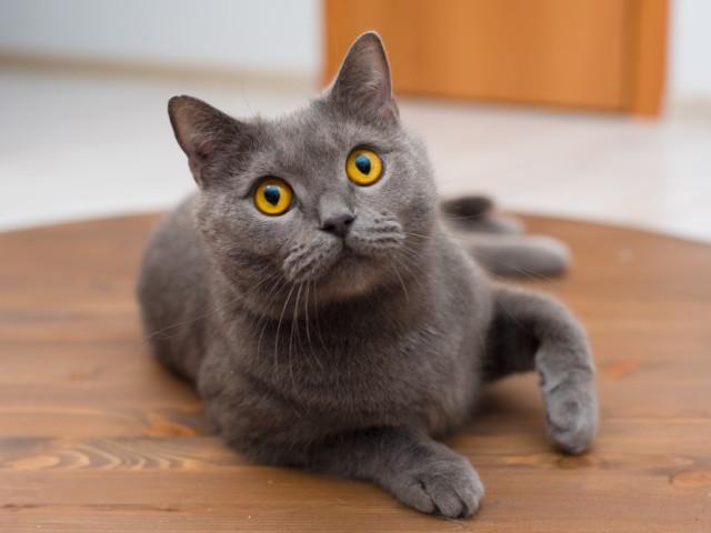 У кішки, коти сильно лізе, випадає шерсть круглий рік: причина, час линьки. Що робити, чим годувати, що дати коту і кішці, як доглядати за котом і кішкою, щоб у них не лізла шерсть?