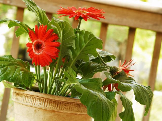 Гербера кімнатна — догляд в домашніх умовах: грунт, пересадка, розмноження. Квіти гербери: посадка і догляд в саду у відкритому грунті, вирощування з насіння