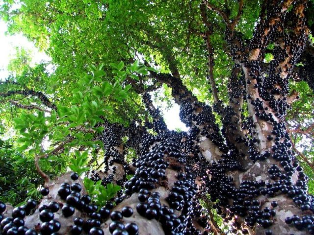 Ягідне дерево джаботикаба — властивості рослини і плодів, фото. Як виростити джаботикабу в домашніх умовах? Як купити насіння джаботикабы на Алиэкспресс?