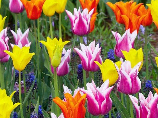 Вигонка тюльпанів в домашніх умовах до 8 березня: сорти, строки, технологія посадки і вигонки в теплиці, в горщиках, ящиках. Який грунт потрібен для вигонки тюльпанів до 8 березня? Як змусити цвісти тюльпани до 8 березня?