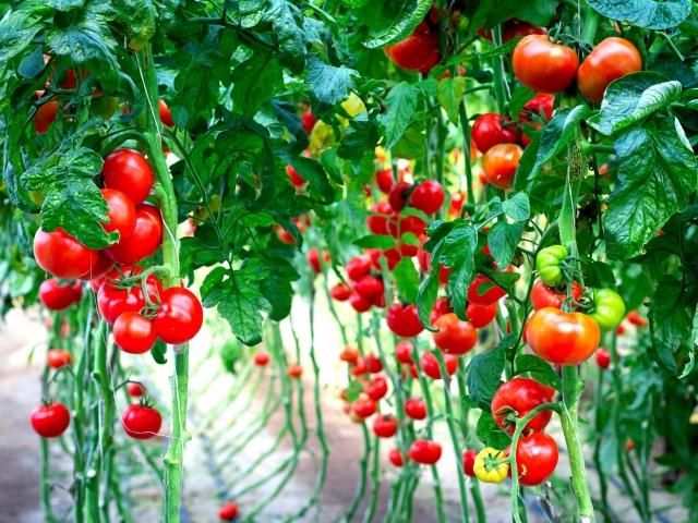 Як правильно підв'язувати високорослі помідори і низькорослі в теплицях та відкритому грунті: 5 способів, правила, поради. Як купити кілочки, склопластикову арматуру, пластикові кліпси, степлер, пристрій для підв'язки помідор в Алиэкспресс: посилання на д