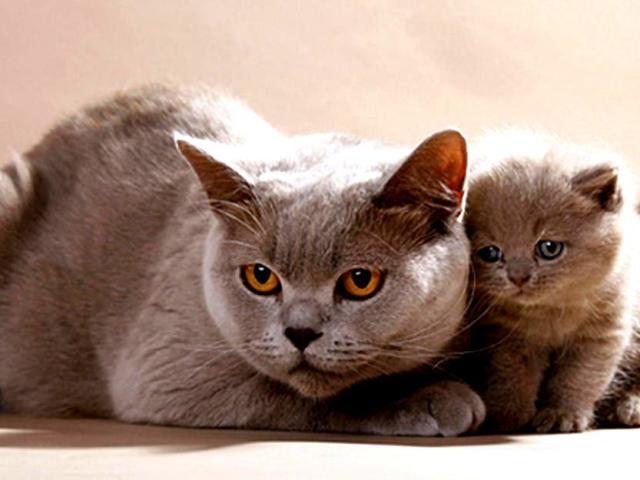 Чим відрізняються британські коти, кішки, кошенята від шотландських по зовнішності, характеру, кодуванні, звичкам: порівняння, різниця, відмінність, фото. Кого з котів, кішок, кошенят краще завести, хто з них дорожче, розумніші, більше, ласкавіше, добріши