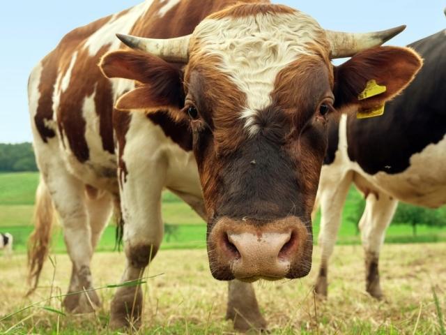 Сонник – бачити в сні бика: значення сну. До чого сниться бик великий, чорний, білий, червоний, нападник, наздоганяючий, з рогами, з коровами, в стаді, жінці, чоловікові: тлумачення сну