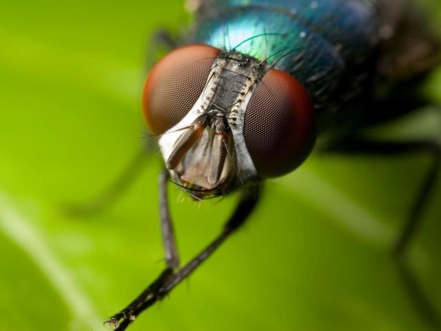 Сонник – бачити в сні мух. До чого сняться мухи дзижчать, великі, чорні, золоті, убиті, в кімнаті, в будинку, рояться, на склі, в павутині, в їжі, жінці: тлумачення сну