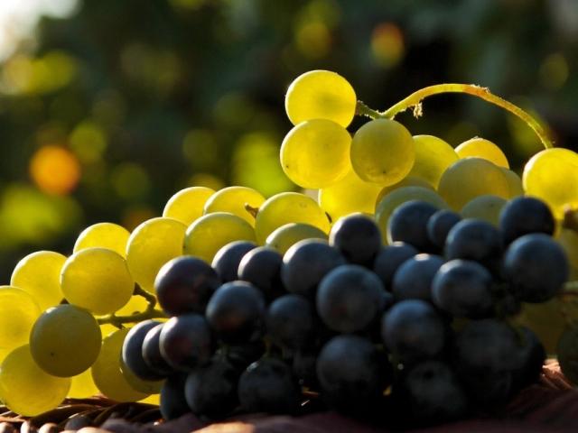Сонник – бачити в сні виноград. До чого сниться збирати, їсти, топтати виноград зелений, білий, чорний, стиглий, гнилий, зіпсований, великий, кислий, солодкий, терпкий жінці, чоловікові: тлумачення сну