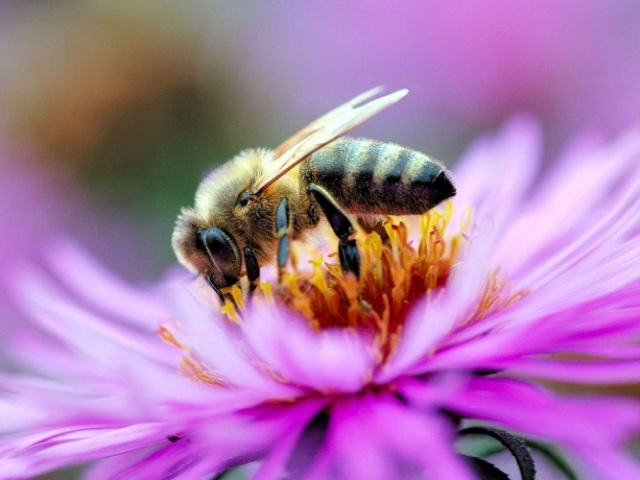 До чого сняться бджоли: токування по сонникам. Що означає сон, якщо бджола залетіла у ваш будинок, вкусила вас, померла? До чого сниться бджолиний рій, вулик, медова бджола, шершень, оса?