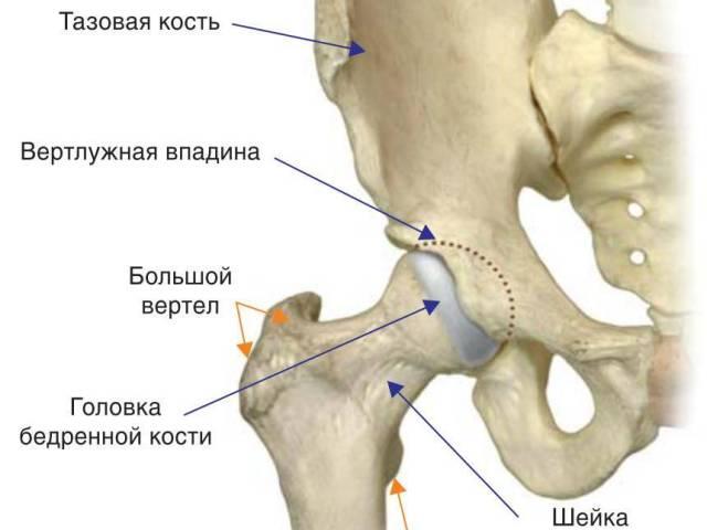 Тазостегновий суглоб: будова, зв'язки, м'язи, нерви, анатомію, кровопостачання, руху в стегновому суглобі. Які кістки беруть участь в утворенні кульшового суглоба?