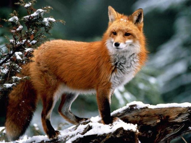 Сниться лисиця: що означає такий сон?