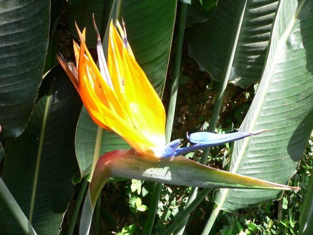 Рослина Стреліція — райський птах: види, опис, вирощування з насіння, догляд, букети, значення квітки, фото. Як купити насіння квітки Стреліція королевська на Алиэкспресс?