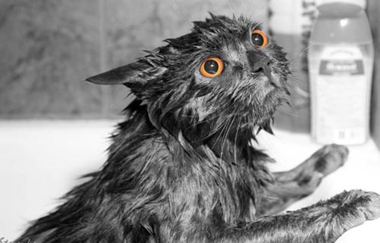 Потрібно купати кішок, як часто? Як правильно мити домашніх котів, кішок і кошенят і чим?