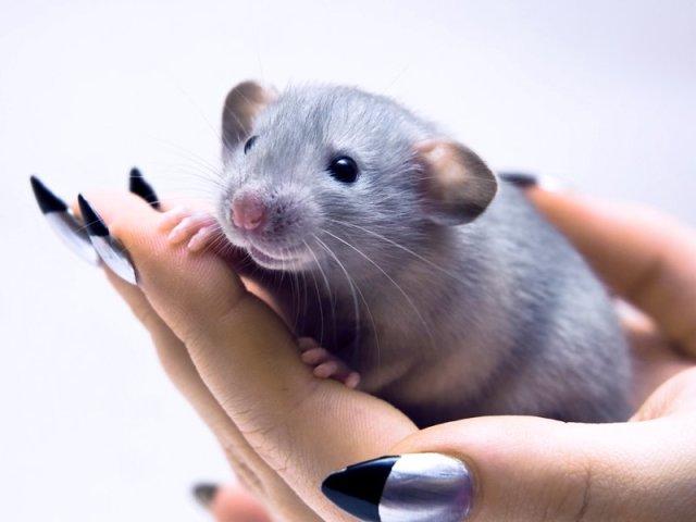 Зміст декоративної домашньої щури: догляд, купання, годування, рекомендації, список кращих шампунів і кормів для щурів