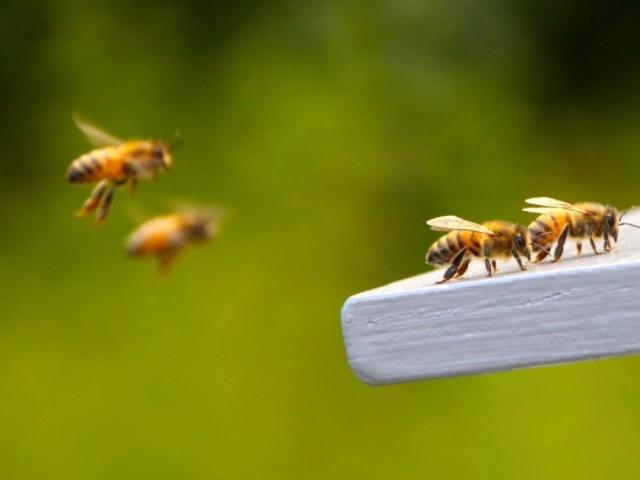 Як бджоли знаходять дорогу додому?