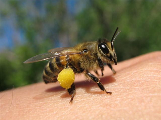 Як і чим привабити бджіл в теплицю, парник для запилення огірків? Які квіти приваблюють бджіл в теплицю, парник?