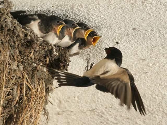 Чому не можна чіпати, розоряти гнізда птахів: інформація для дітей. Як оцінити вчинок хлопчиків, які розоряють гнізда?