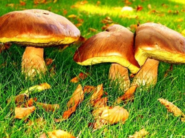 Як правильно і швидко почистити гриби маслюки від плівки в домашніх умовах: способи, опис. Чи можна не чистити маслюки для маринування? Потрібно чистити маленькі маслюки? Потрібно замочувати маслюки на ніч?