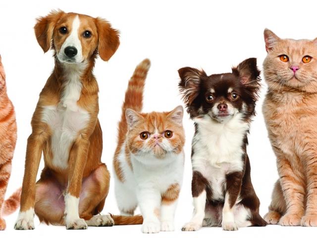 Чи можна годувати собаку сухим або м'яким котячим кормом? Чому собака їсть котячий корм: причини, шкідливо це, наслідки. Що буде, якщо собаку годувати котячим кормом?