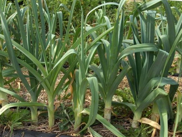 Цибуля-порей — вирощування з насіння розсадою у відкритому грунті і догляд: терміни та схема садіння, підживлення. Чому цибуля-порей йде в стрілку: причини, методи усунення. Найкращі врожайні сорти цибулі-порею для середньої смуги Росії, Сибіру, Ура