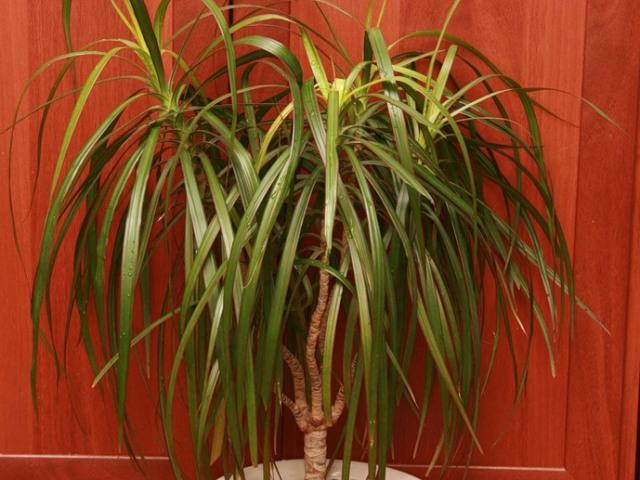 Кімнатний квітка — пальма драцена: посадка, догляд, розмноження, полив, пересадка восени, взимку, вирощування, обрізка, підживлення в домашніх умовах, хвороби, прикмети і забобони. Чому драцену називають дракон, драконове дерево, дерево щастя?