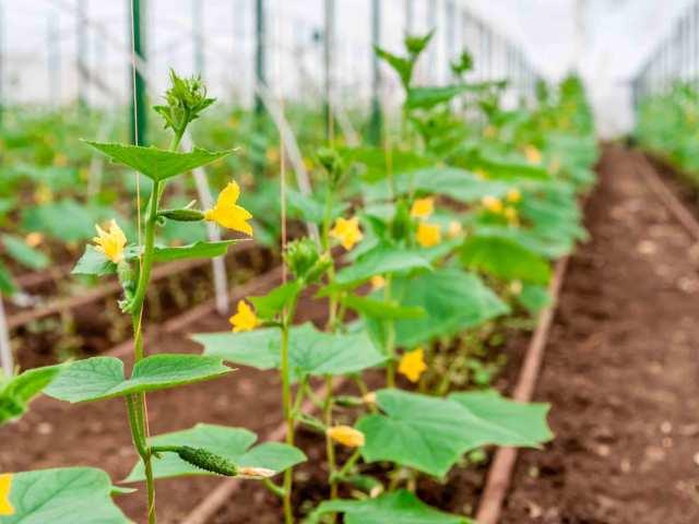 Чому жовтіють і сохнуть листя огірків розсади в теплиці і у відкритому грунті: найпоширеніші причини. Що робити, якщо у огірків жовтіє листя?