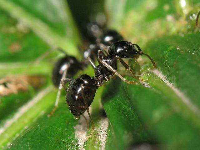 Сонник — мурахи: до чого сняться уві сні мурахи в будинку, квартирі, у себе на тілі, ногах, голові, волоссі, багато, у великій кількості? До чого сняться червоні, чорні, руді, великі, маленькі, літаючі, кусючі? До чого сниться мурашник з мура