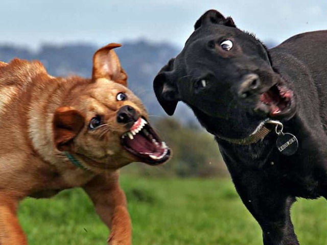 Як правильно і з якого віку можна навчити цуценя собаки в домашніх умовах? Навчання цуценя собаки основним командам: початковий курс дресирування, список команд, опис жестів, відео, поради. Яке ласощі давати цуценяті собаки при дресируванню?