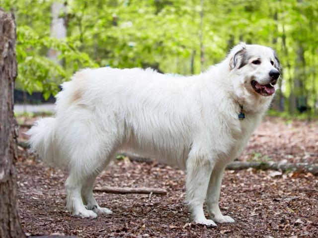Коли линяють собаки? Чому собака линяє взимку, хоча живе на вулиці? Скільки триває весняна, літня і осіння сезонна линька у собак? Собака линяє постійно, круглий рік: причини