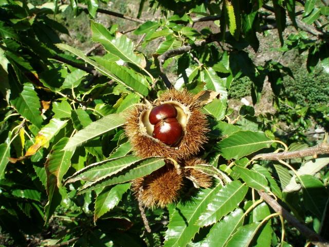 Як проростити, посадити і виростити каштан з горіха в домашніх умовах навесні? Чому не цвіте каштан, жовтіють листя каштана влітку? Можна садити каштан біля будинку: прикмети