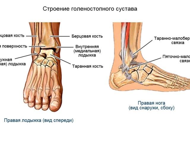 Будова гомілковостопного суглоба: м'язи, зв'язки, анатомія, кістки