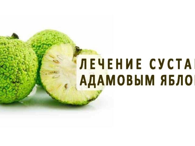 Адамове яблуко: використання маклюри в народній медицині рецепт настоянки для суглобів