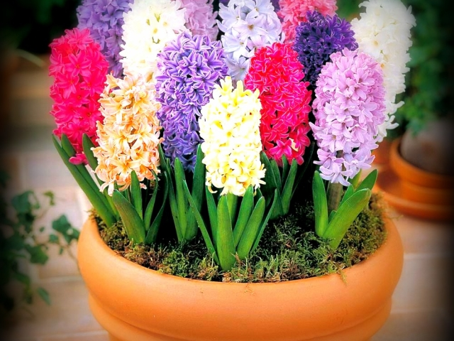 Квіти гіацинти: посадка і догляд у відкритому грунті і в горщику в кімнатних умовах. Як доглядати за гіацинтом після цвітіння саду і в домашніх умовах?