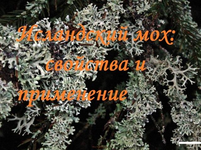 Ісландський мох: лікувальні властивості і протипоказання, рецепти та відгуки. Як приймати ісландський мох від кашлю, бронхіту, туберкульозу, простатиту, для очищення судин, схуднення?
