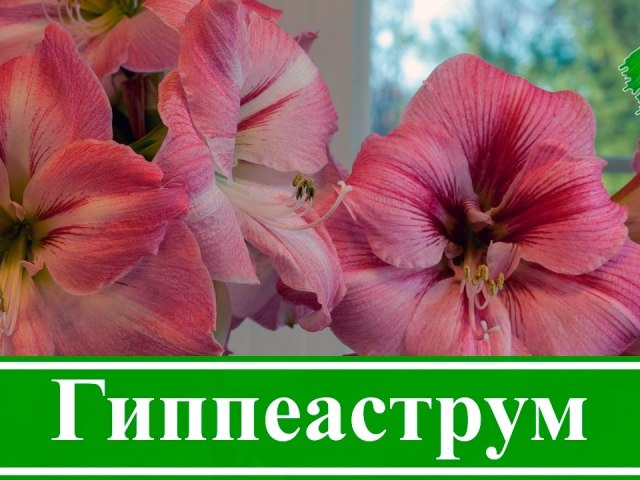 Кімнатний квітка гиппеаструм: значення квітки, прикмети, посадка, вирощування і догляд під час і після цвітіння, в період спокою в домашніх умовах, підживлення, полив, розмноження, хвороби. Як купити цибулини гиппеаструма поштою в Китаї на Алиэкспресс?