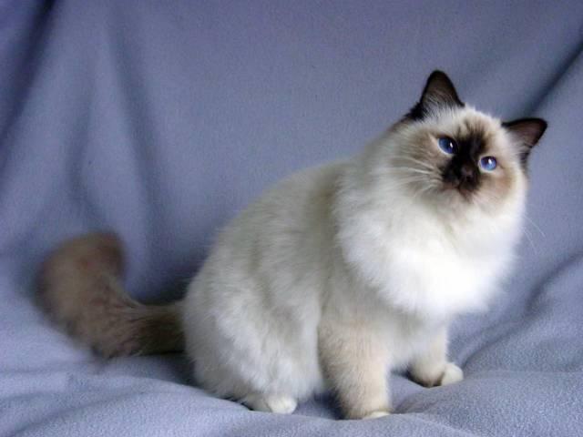 Бірманська короткошерста кішка: опис породи та характеру, відгуки власників. Бірманська кішка: забарвлення, алергія, догляд та утримання