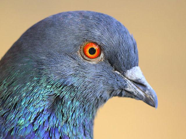 Як відрізнити голуба від голубки: за будовою тіла, кольором, голосу, характеру, відмінності в звичках голубів під час шлюбного періоду — визначення статі голубів народними методоми