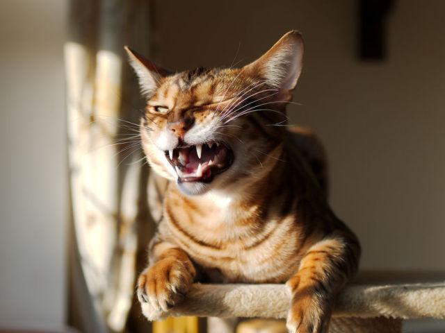 Треба чистити зуби котам і кішкам? Як правильно і часто чистити зуби коту і кішці в домашніх умовах: поради. Якою зубною пастою і щіткою почистити зуби кішці? Як привчити кошеня чистити зуби? Які кісточки давати кішкам для чищення зубів?