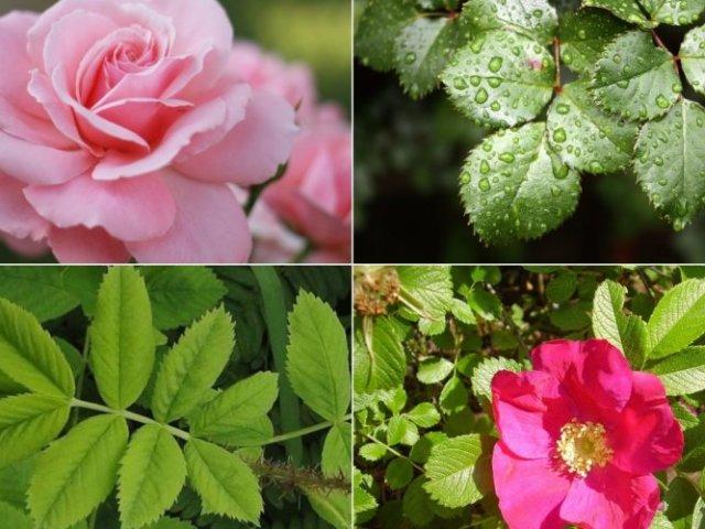 Як відрізнити саджанці троянди від шипшини по листю, зовнішнього вигляду? Як дізнатися, що троянда перетворюється в шипшина і запобігти це?