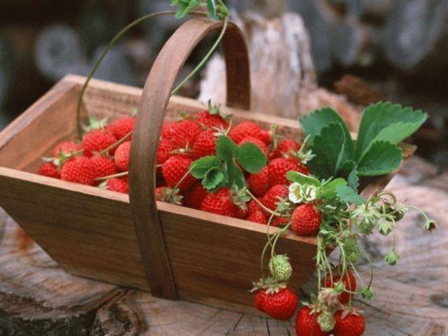 Чим відрізняється полуниця від суниці: порівняння. Що корисніше, краще, врожайніший, ароматні, смачніше: суниця або полуниця? Як виглядає суниця і полуниця: фото
