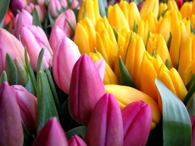 Тюльпан: опис, характеристика рослини для дітей, фото. Скільки пелюсток у тюльпана: кількість. Які у пелюстки тюльпана, який стебло: колір, форма. Тюльпан звичайний — батьківщина рослини