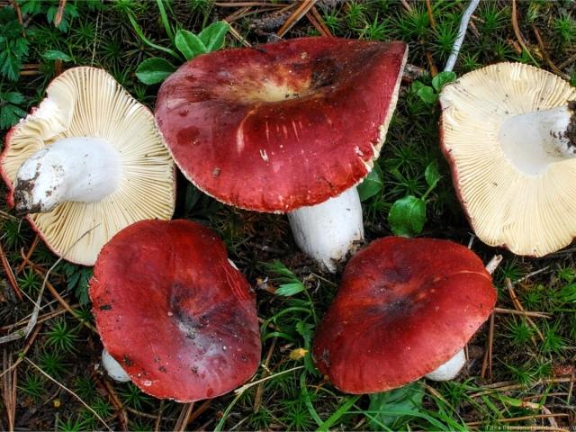 Гриби сироїжки — їстівні і неїстівні: різновиди, коли з'являються, опис, фото. Гриби їстівні сироїжки: користь і шкода, як виглядають, з чим можна переплутати? Як відрізнити гриби сироїжки помилкові від справжніх: порівняння, подібності та відміннос