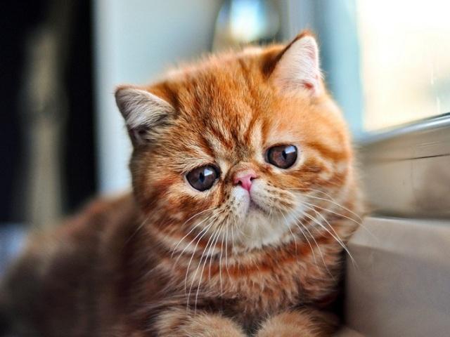 100 цікавих, дивовижних і цікавих фактів про кішок зі всього світу