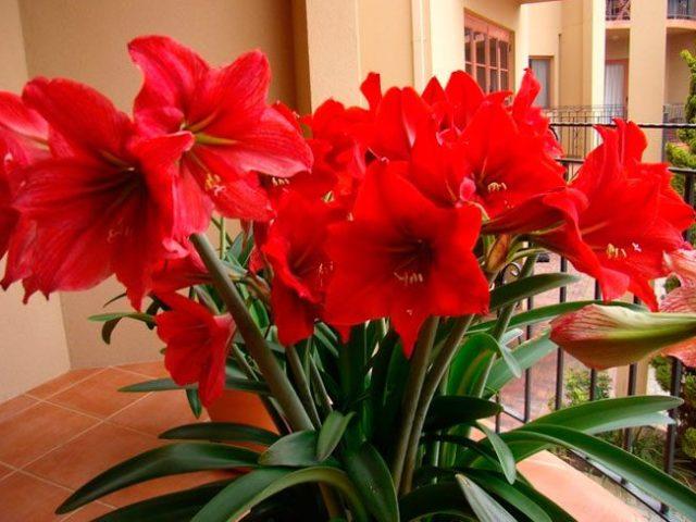 Домашні лілії в горщику: вирощування і догляд в домашніх умовах. Коли і як садити цибулини лілії навесні в горщик, як поливати, чим підживити, як пересаджувати?