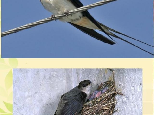 Чим відрізняється птах ластівка від стрижа: схожість і відмінність. До яких загонам відносяться ластівки і стрижі? Порівняння ластівок і стрижів для уроку Навколишній світ 2 клас