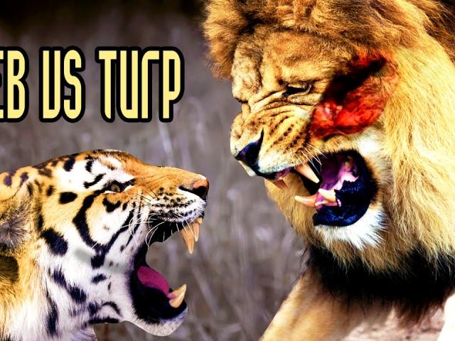 Чим відрізняється тигр від лева: відмінності, подібності. Лев або тигр — хто сильніший, більше, хто переможе: порівняння. Де живуть леви і тигри? Муркають, вміють плавати тигри і леви?